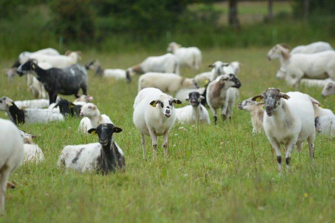Au bonheur des chèvres