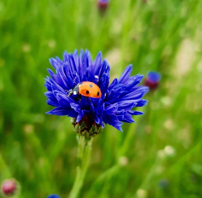 Les Tisanes d'Antan - fleurs colorées
