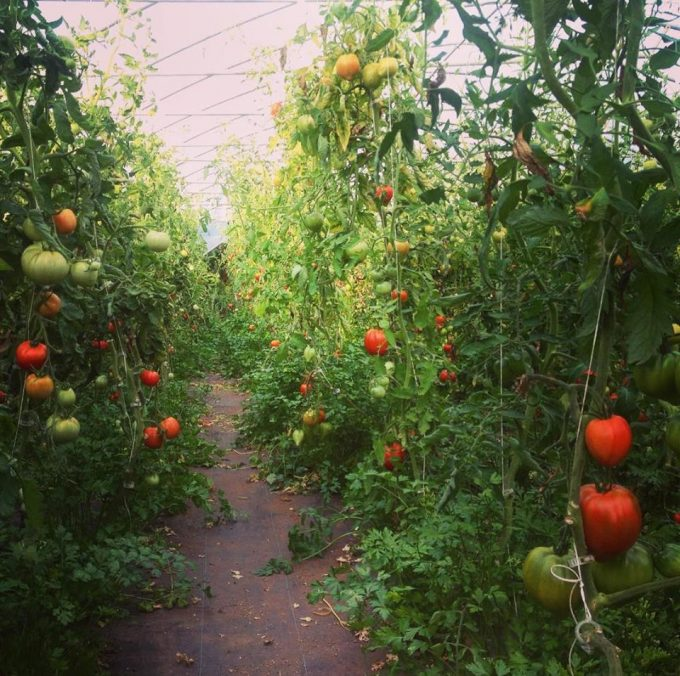 Jungle de tomates et persils...