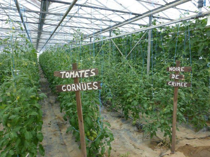 Différentes variétés anciennes de tomates, sous serres