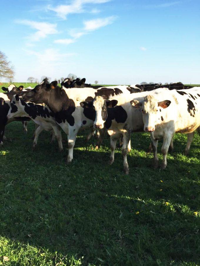 Les vaches, principales actrices de bonnes glaces artisanales !
