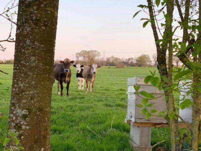 Les vaches aussi aident au verger