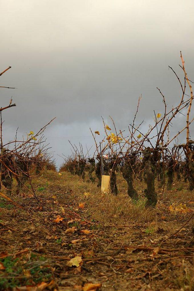 Vignes des vignobles Chéneau