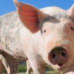 Caisse de viande de cochon en vente directe : à quoi s'attendre ?