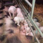 Caisses de viande de Génisse en direct du producteur : Disponibles le 25/08 !
