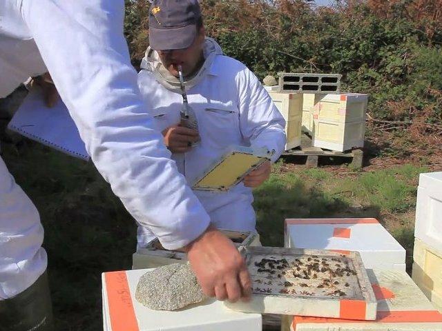 """L'abeille locale de Bretagne, la """"noire d'Ouessant"""", vient en aide au reste du Monde !"""