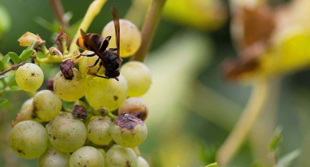 Vrai / Faux sur le frelon asiatique - Pour tout connaître de cet insecte nuisible