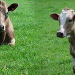 Vente de caisses de viande d'agneau 100% biologiques - Dispo Juin 2016