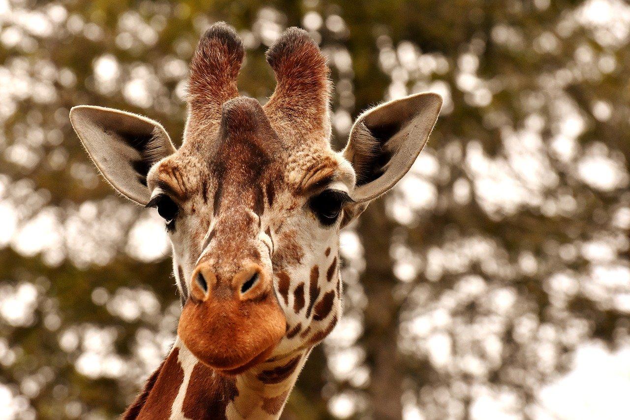 Gwenal, éleveur de girafes à Combrit !