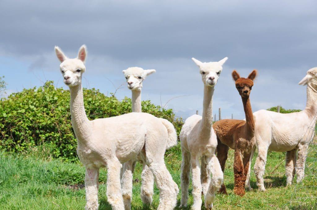 Laine et élevage d'Alpaga, en Bretagne