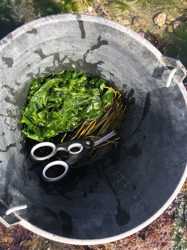 La laitue de mer : une algue verte comestible (et délicieuse) !