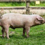 Recette de Colombo de porc