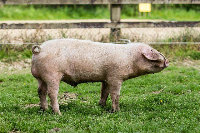 Le Porc Blanc de l'Ouest : le vrai cochon breton !