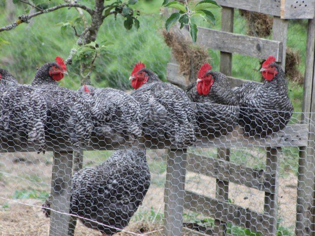 Le Coucou de Rennes : Une poulette 100% bretonne !