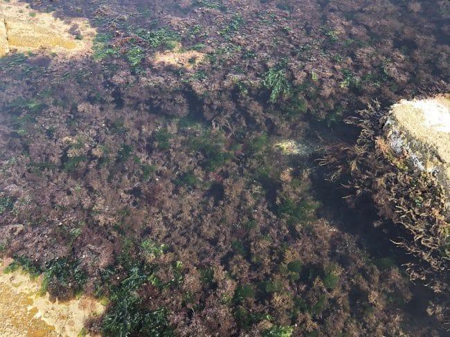 La Nori : une algue rouge (locale !) aux nombreux bienfaits