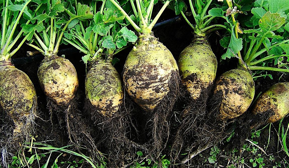 Le Rutabaga : un légume ancien à redécouvrir absolument !