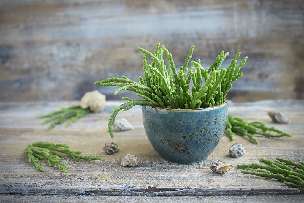La Salicorne, une plante sauvage locale à goûter absolument !