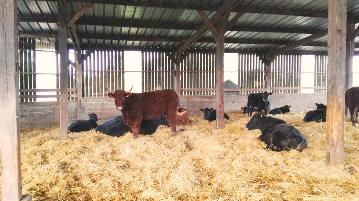 La vache est-elle réellement un animal herbivore ? 🧐